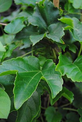 Ampelopsis Veitchii - Vigne Vierge