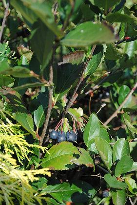 Aronia prunifolia Viking - Aronie à fruits noirs