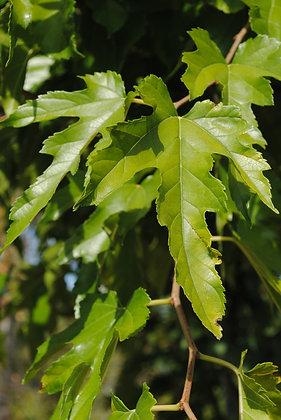 Morus Kagayamae - Mûrier à feuilles de platane