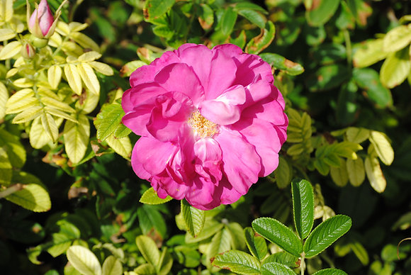 Rosa Rugosa - Rosier rugueux