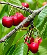 CERISIER FRUITS.png