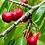 Thumbnail: Cerisier - Bigarreau- Prunus cerasus