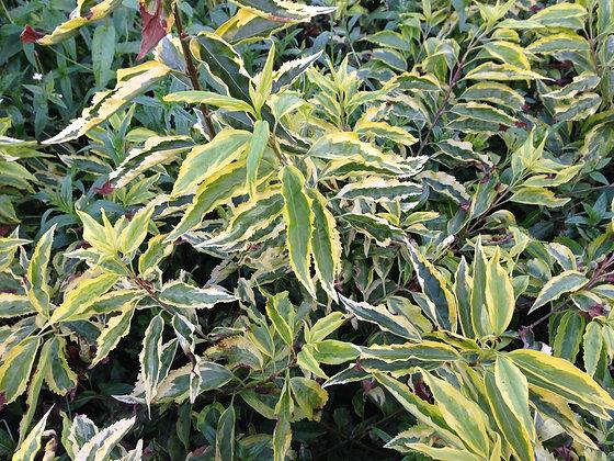 Prunus Lusitanica Variegata