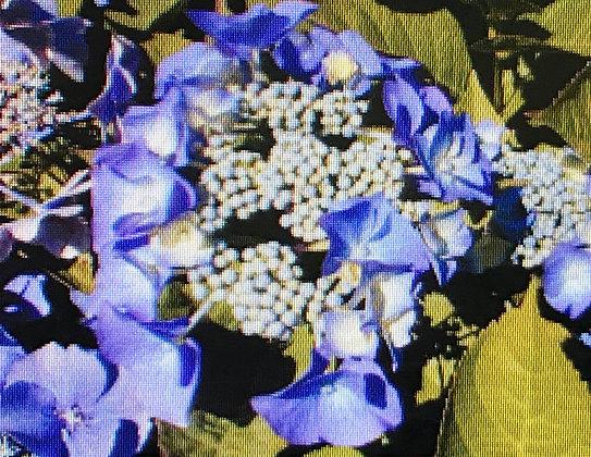 Hydrangea M. Blaumeise - Hortensia