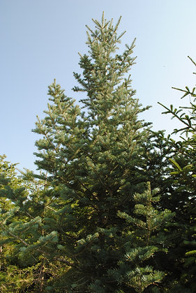 Abies Concolor - Sapin du Colorado