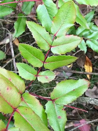 Mahonia Aquifolium - Mahonie à feuilles de houx
