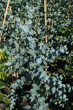 Eucalyptus Gunnii - Gommier Cidre