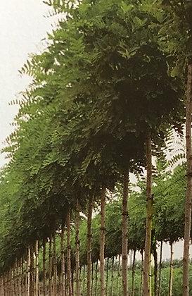 Robinia Ps. Umbraculifera - Robinier
