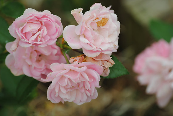 Rosa The Fairy rose