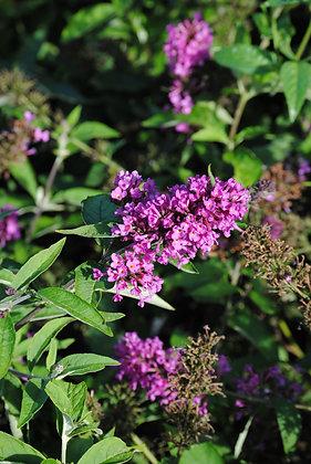 Buddleja Davidii Nanho Purple - Arbre à papillon