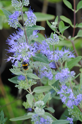 Caryopteris Clandonensis Heavenly Blue - Barbe ble