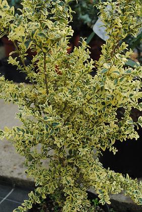 Buxus Semp. Elegantissima - Buis panaché