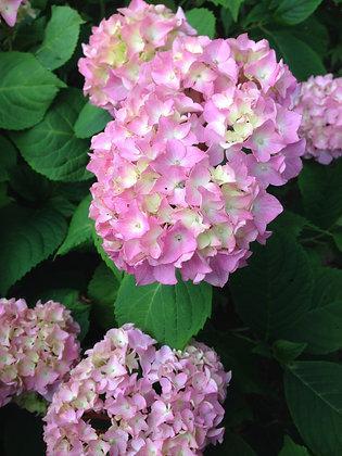 Hydrangea Macrophylla - Hortensia