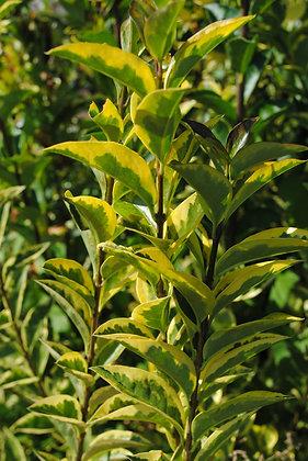 Ligustrum Ovalifolium Aureum - Troène californie