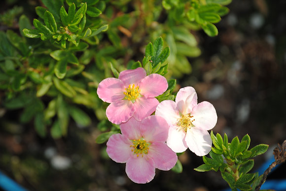 Potentilla Fr. Pink Queen