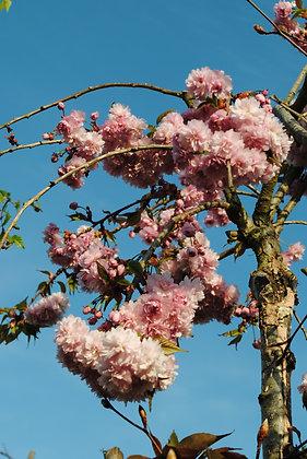 Prunus Ser Kiku Shidare Zakura - Cerisier à fleurs