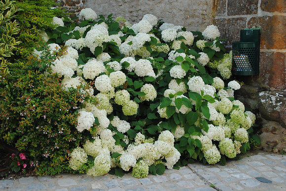 Hydrangea A. Annabelle - Hortensia