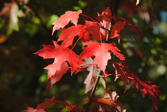 Acer Freemanii Autumn Blaze