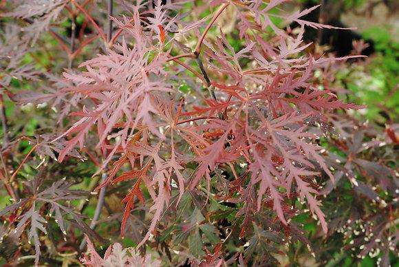 Acer Palm. Atr. Dissectum Garnet - Erable du Japon
