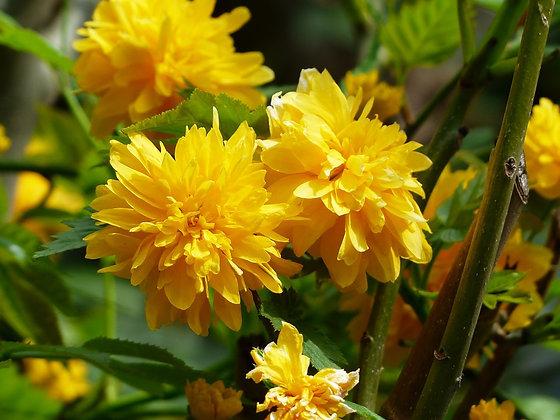 Kerria Japonica - Corête du Japon