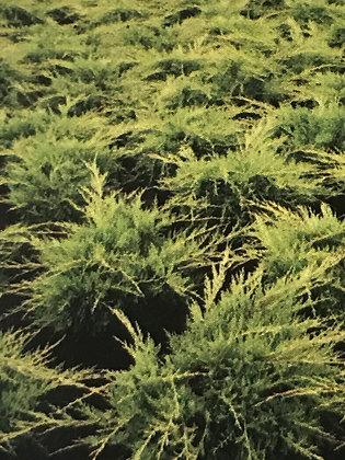 Juniperus Media Old Gold