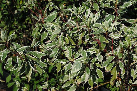 Cornus Alba Argenteomarginata - Cornouiller blanc