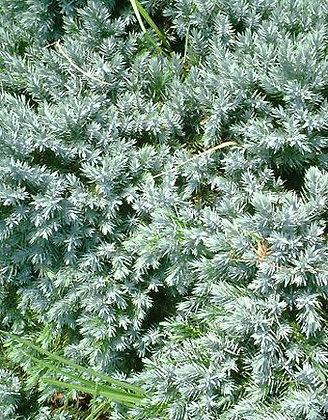 Juniperus Sq. Blue Star - Genevrier