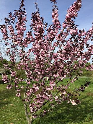 Prunus S. Royal Burgundi - Cerisier à fleur