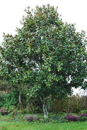 Magnolia Grandiflora - Laurier Tulipier