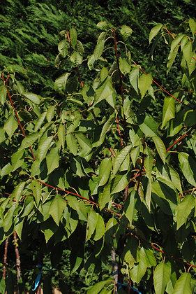 Cerisier - Bigarreau- Prunus cerasus