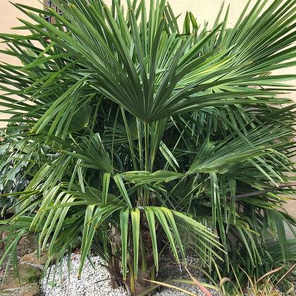 Trachycarpus Fortunei - Palmier Chauve