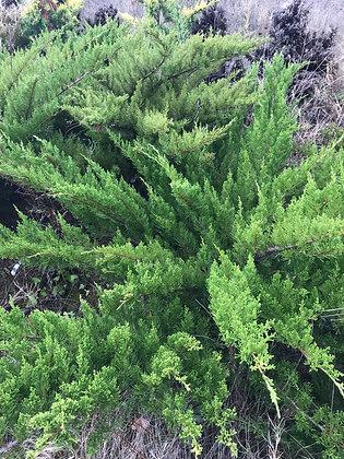 Juniperus Media Mint Julep - Genevrier