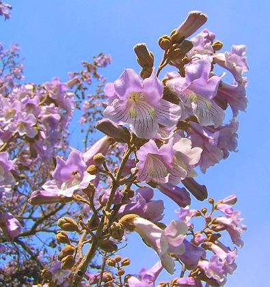 Paulownia Tomentosa - Arbre imperial