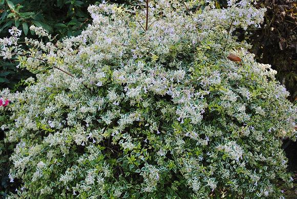 Abelia Confetti - Abelia a grandes fleurs