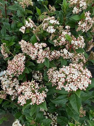 Viburnum Tinus - Viorne Laurier Tin