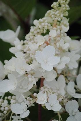 Hydrangea P. Candlelight - Hortensia
