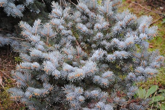 Picea Pungens Globosa - Epicéa du Colorado