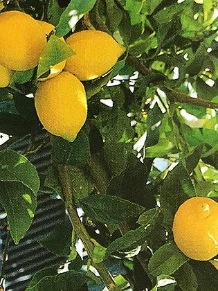 Citrus Lemon -Citronnier