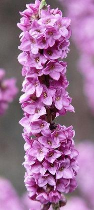 Daphne Mezereum - Bois gentil