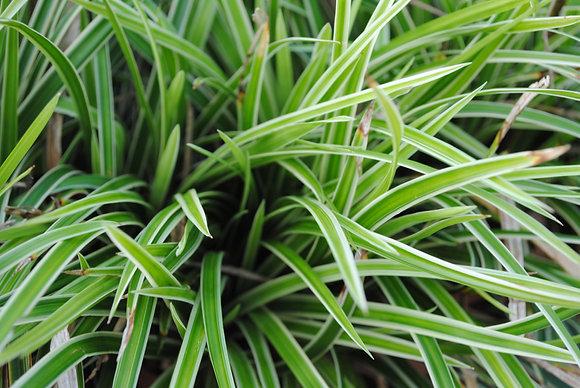 Carex Morrowii - Laiche Japonaise