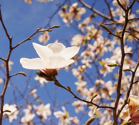 Magnolia Kobus - Magnolia de Kobé