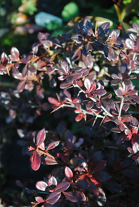 Berberis Red Jewel - Epine Vinette