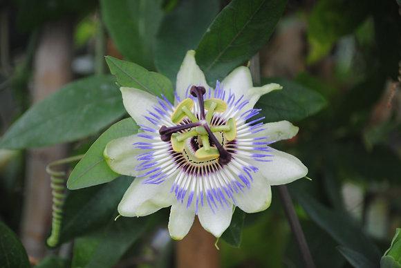 Passiflora Caerulea - Passiflore