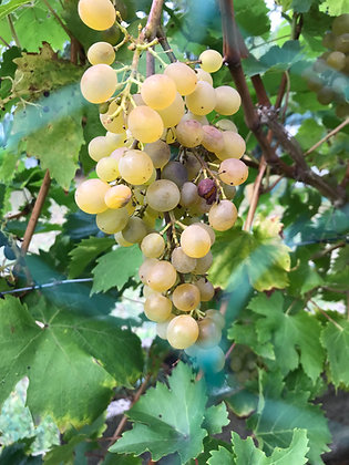 Vigne - Vitis