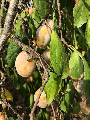 Prunier - Prunus Domestica