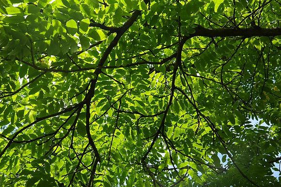 Pterocaria Fraxinifolia - Noyer du Caucase