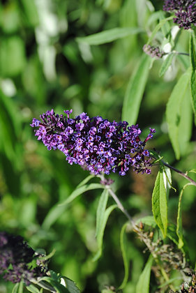 Buddleja Black Knight - Arbre aux papillon