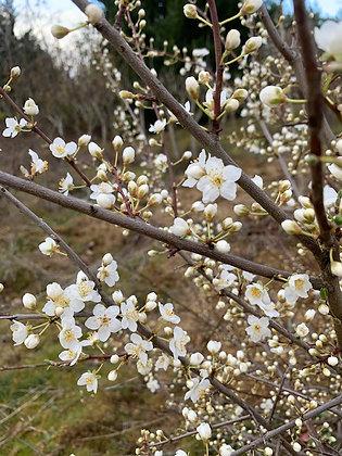 Prunus Cerasifera - Myrobolan