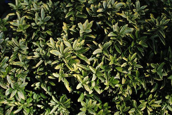 Euonymus J. Microph. Aureus
