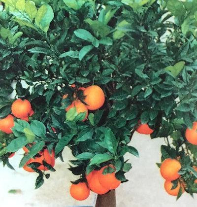 Citrus Sinensis - Oranger